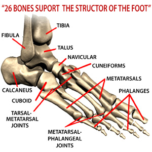 26 bones support structor of foot for senior foot health